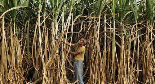 Punjab to pay Rs 25 per quintal extra to sugarcane farmers