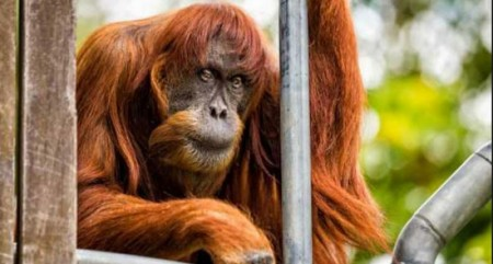 World's oldest Sumatran orangutan dead